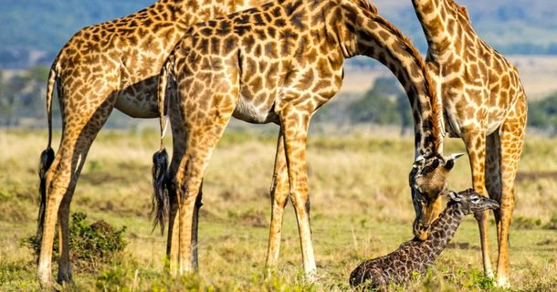A Safari Guide Witnessed A Giraffe Giving Birth And Took Pictures Along The Way